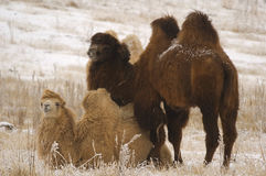 In' and Yan' together. Couple of camels in the winter on Ush-Konyr plateau Stock Photo