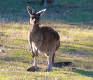 Yanchep National Park. Kangaroo at Yanchep National Park Stock Photos