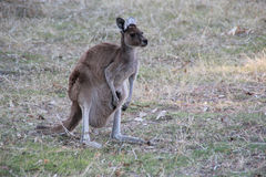 Yanchep National Park. Kangaroo at Yanchep National Park Royalty Free Stock Image