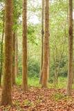 Yang, Gurjan eller Garjan i skogsbrukkoloni Slight blur i löpare för att visa rörelse thailand Lantbruk och jordbruk mjukt sollju arkivfoton
