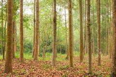 Yang, Gurjan eller Garjan i skogsbrukkoloni Slight blur i löpare för att visa rörelse thailand Lantbruk och jordbruk mjukt sollju royaltyfria foton