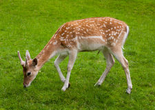 Yang Male deer and green grass Royalty Free Stock Photos