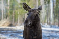 Yang moose big stock photo