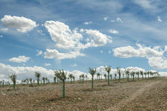 Yang olive trees in a row Stock Photography