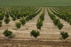 Yang orange trees plant Stock Photo