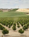 Yang-Orangenbaumanlage Lizenzfreie Stockfotos