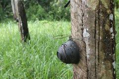 Yang Pa Ra or rubber tree Royalty Free Stock Photography