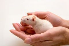 Yang rat in hands Royalty Free Stock Images