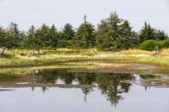 Yang spruce forest reflection in the small puddle. Yang spruce forest reflection in the small puddle Royalty Free Stock Photo