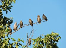 Yang starling birds on tree branches, Lithuania Stock Image