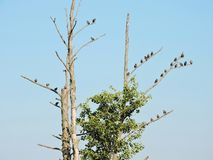Yang starling birds on tree branches, Lithuania Stock Photography