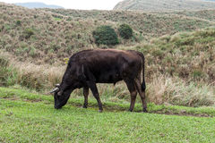 Yangmingshan Nation Park Cow at Qing Tian Gang, Taipei Apr 2016 Stock Photo