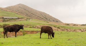 Yangmingshan Nation Park Cow at Qing Tian Gang, Taipei Apr 2016 Royalty Free Stock Images