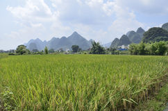 Yangshuo mature rice Royalty Free Stock Photo