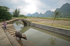 Yangshuo scenery. Local woman and her water buffalo in the green hills in Yangshuo,South China Royalty Free Stock Photos