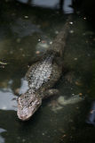 Yangtze Alligator Royalty Free Stock Photos