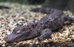 Yangtze alligator Arkivbilder