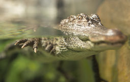 Yangtze Alligator. A China Yangtze river alligator floating in water Stock Photos