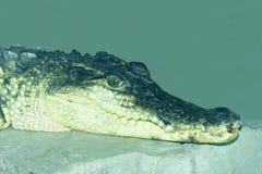 Yangtze alligator. The head close-up of crocodile. Scientific name: Alligator sinensis Stock Photos