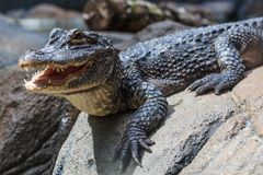 Yangtze Alligator. A young Yangtze alligator sunning itself on a boulder with its mouth open Royalty Free Stock Photography