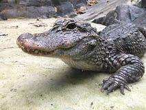 Yangtze Chinese alligator stock fotografie