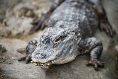 Yangtze Chinese alligator royalty-vrije stock foto