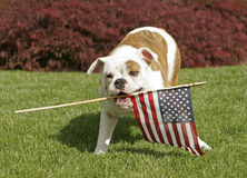 Yankee Doodle Doggie. An English Bulldog puppy waves the American flag royalty free stock photo