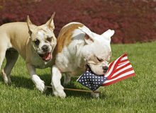 Yankee Doodle Doggies. Two English Bulldog puppies play with an American flag on the 4th of July stock photo