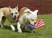 Yankee Doodle Doggies Stock Photo