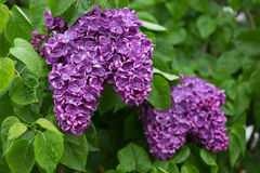Yankee Doodle French Lilacs Stock Photo