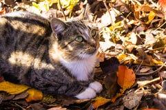 Yard cat among autumn leaves. royalty free stock image
