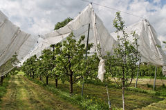 Yard of cherry- trees. Royalty Free Stock Photo