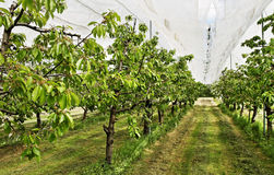 Yard of cherry- trees. Stock Photography