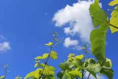 Yard de vin photo libre de droits