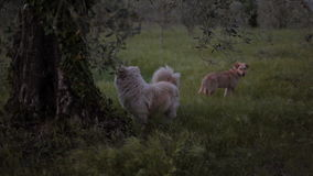Yard dogs on the farm. The life of domestic dogs on farms in Italy. Games and recreation stock footage