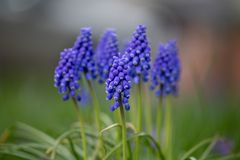 Yard Front Back Garden de Flora Flowers Purple Grape Hyacinth photographie stock libre de droits