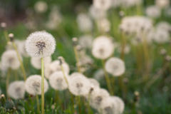 Yard Full of Dandelions Stock Images