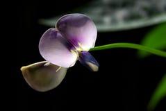 Yard Long Bean Blossom Royalty Free Stock Photos