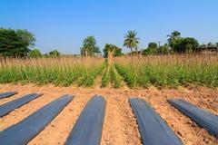 Yard long bean farm Royalty Free Stock Images