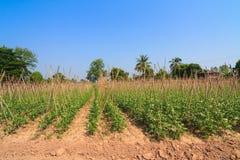 Yard long bean farm Stock Image