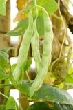 Yard Long Bean. Royalty Free Stock Photo