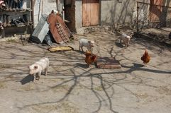 Pigs and chickens in the yard. In the yard there is a shadow of a tree. In the yard stands the food for chickens Royalty Free Stock Photography