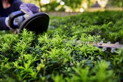Gloved hand cutting the yew bush with hedge trimmer Royalty Free Stock Photo