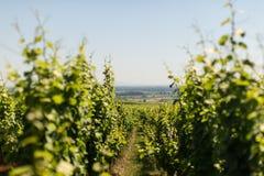 Yarda de la uva en Eguisheim Imagenes de archivo