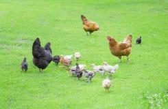 Yarda de las aves de corral Imagen de archivo libre de regalías