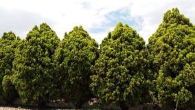 Yarda del pino Fotografía de archivo