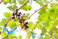 Yarda del vino de la uva roja Foto de archivo