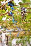 Yarda del vino de la uva roja Fotografía de archivo