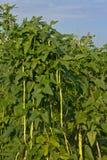 Yardlong豆在农场 免版税库存照片
