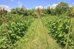 Yardlong bean farm Stock Image